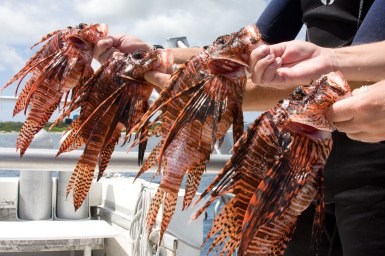 Lionfish-Group